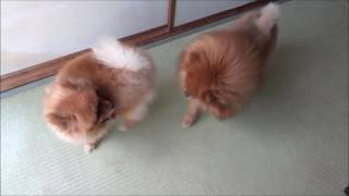 ライオンVSグリズリー ポメラニアンカンフー Pomeranian Kung Fu その46...