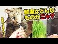 猫草を食べさせてもらう甘えん坊な猫!〜A cat to have mum eat cat grass!〜