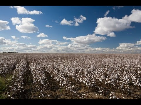 China's Cotton Policy Podcast Part 4: Reforms & Price Outlook