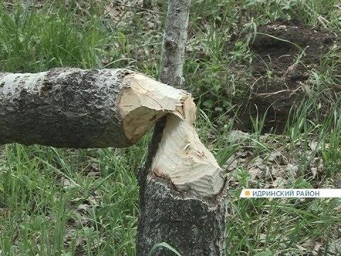 В заказнике на юге Красноярского краю провели «перепись» бобров
