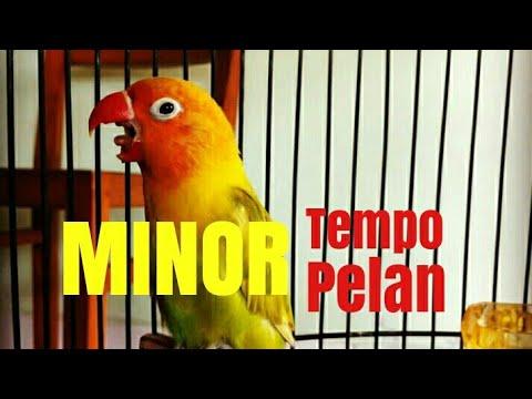 MASTERAN LOVEBIRD MINOR TEMPO LAMBAT