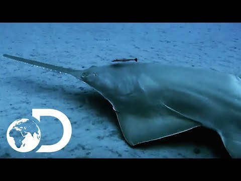 The Incredibly Endangered Sawfish | Lair Of The Sawfish | SHARK WEEK 2018