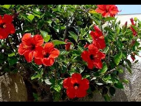 grow potting hibiscus