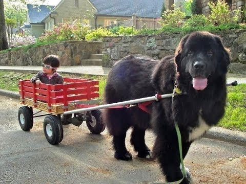 Newfoundland Dog - Larges Dog But Still Cute