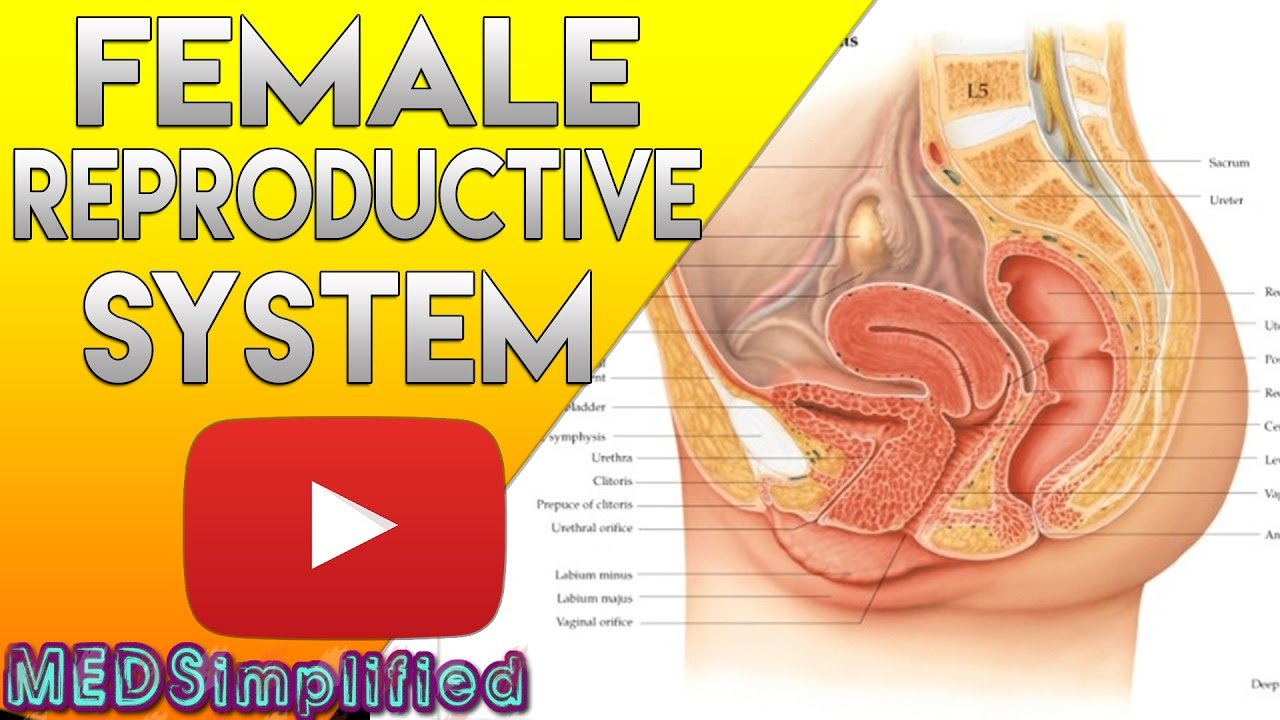 female reproductive system made easy organs functions [ 1280 x 720 Pixel ]
