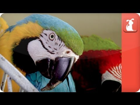 Unadoptables - Inseparable and Handicapped Parrots