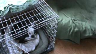 Boston Terrier Cage Training