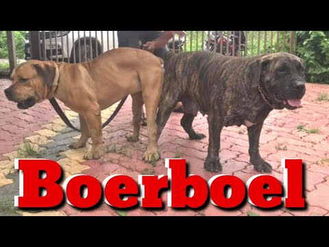 boerboel:-the-african-mastiff-puppies.-south-african-breed-dog.-super-bite-force.