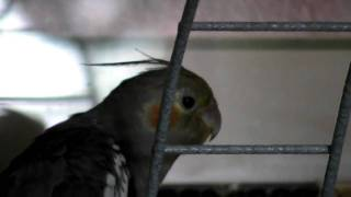 Lola female cockatiel singing