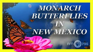 Monarch Butterflies in New Mexico | NMPBS ¡COLORES!