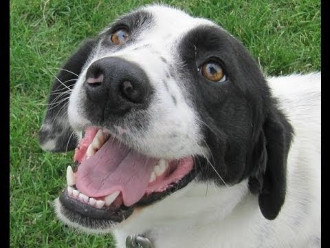 Ryan - Springer Spaniel/Dalmatian Mix - YouTube