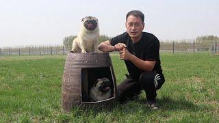 三只巴哥犬太调皮,偷偷在主人腿上撒尿\3 pugs are very naughty to pee on owner's leg