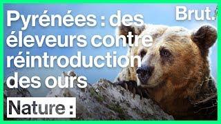 Des éleveurs français hostiles à la réintroduction des ours