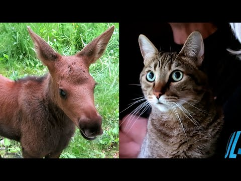 BABY MOOSE BLOWS KITTY'S MIND!