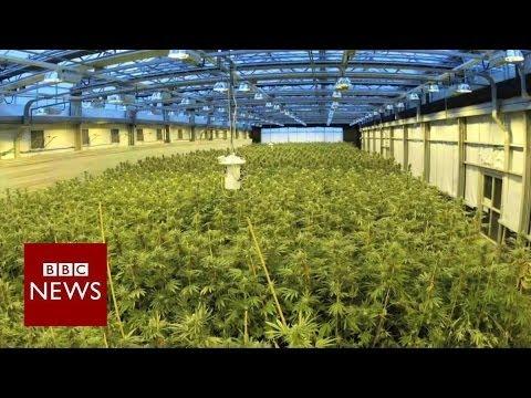 Marijuana for kids: Using cannabis to treat epilepsy - BBC News