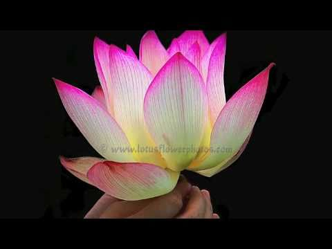 Amazing lotus flower photos part 1 youtube amazing lotus flower photos part 1 mightylinksfo