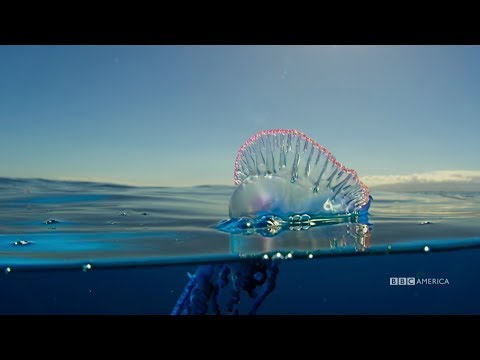The Deadly Portuguese Man O' War | Planet Earth: Blue Planet II | Saturdays @ 9/8c On BBC America