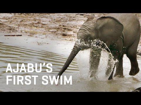 Baby Elephant Ajabu's FIRST Swim