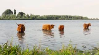 Relaxing music with nature sounds - Scottisch highlander Cows - Meditation - RS Imagines