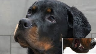 What it's like trying to groom a ROTTWEILER