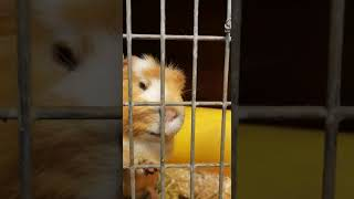 Guinea pig trying to escape | Funny animals