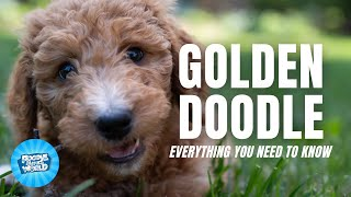 Goldendoodle Dog Breed Information  How Intelligent are they | Goldendoodle Dogs 101
