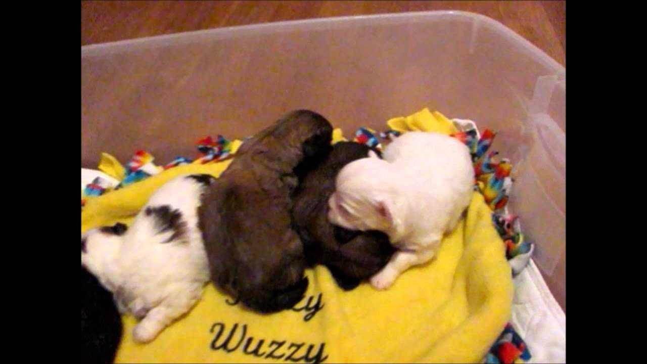 Shichon puppies for sale in kentucky - Daisy Dog Puppies For Sale Some Call Them Teddy Bears Fuzzywuzzypoo Puppies