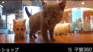 Смешные котята в зоомагазине 360° 4K видео для VR очков