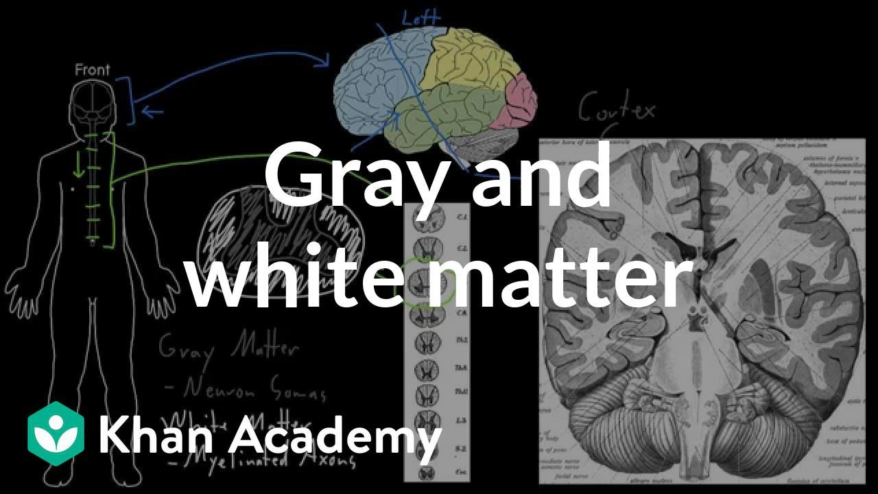 Gray and white matter (video) | Behavior | Khan Academy