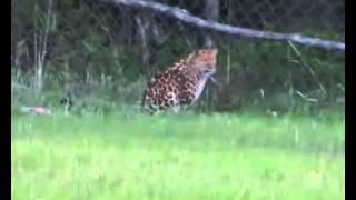 Дальневосточный леопард загрыз двух жеребят в фермерском хозяйстве под Уссурийском