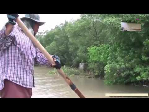 Bắt Tôm Càng Xanh Ở Thái Lan