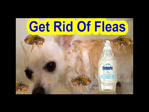 How to Get Rid Of Fleas Dog Cat Fast Easy Simple Using Dawn Ultra