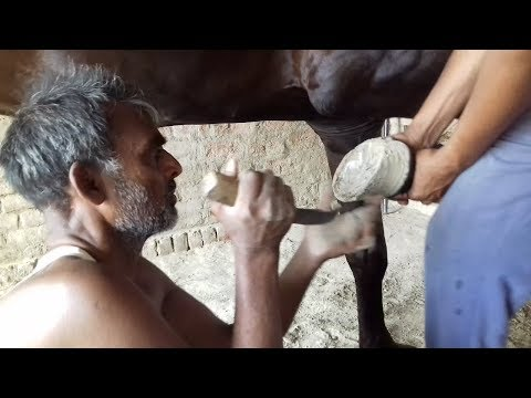 HORSE HOOF/NAIL TRIMING VIDEO IN INDIAN STYLE. WITHOUT GRINDER WITH SELF EQUIPMENT AND EXPERIENCE.