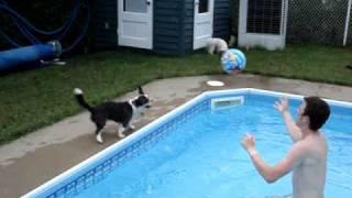 "Headers By Ponzu - A Boston Terrier X Shih Tzu Mix Dog Ponzu"""
