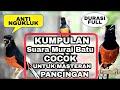 15 Suara Masteran Murai Batu Paling Cocok Untuk Memikat Murai Macet Bunyi Jadi Gacor Jernih(.mp3 .mp4) Mp3 - Mp4 Download