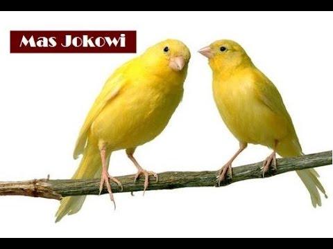 Download Lagu BAGUS! Suara Burung Kenari - Cocok untuk masteran