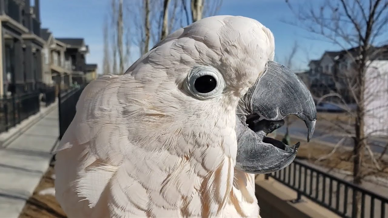 Cockatoo Does Chicken Impression