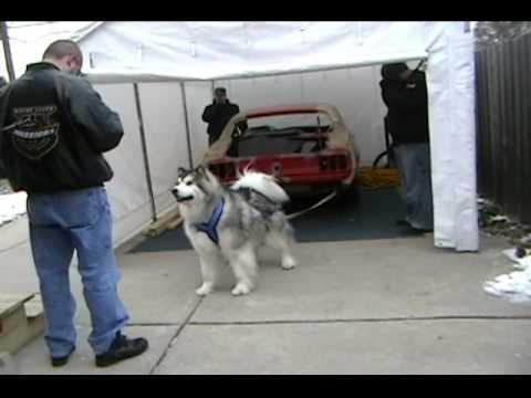 Avalanche - Malamute pulls car
