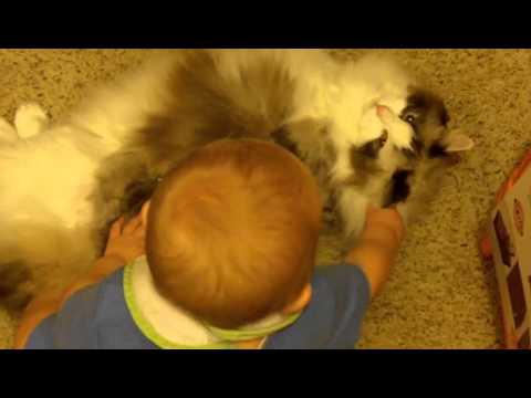 Ragdoll Cats and Kids