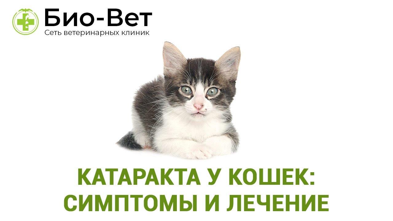 Катаракта у кошек: симптомы и лечение. Ветеринарная клиника Био-Вет.