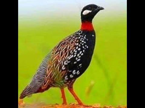 Birds Call - Llamada De Los Pájaros - Perdiz Negra, Pájaros, Llamada