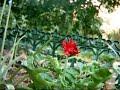reblooming gerbera daisy - Plant cam