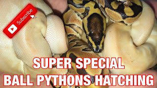SUPER SPECIAL BALL PYTHONS HATCHING!!