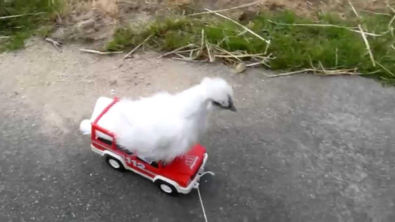 Dr le de poule youtube - Photos poules rigolotes ...