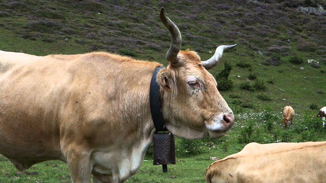 Vache béarnaise - YouTube