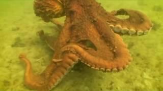 смерть самки гигантского осьминога
