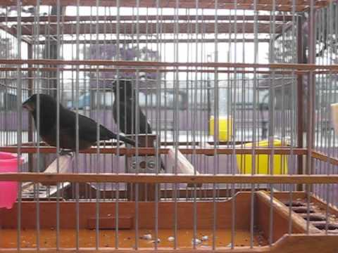 Guyana bird