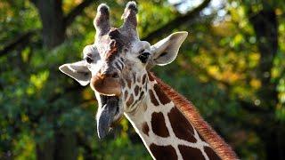 В мире животных. Жираф и Окапи