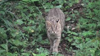ツシマヤマネコ よんさま ツシマヤマネコ 検索動画 17