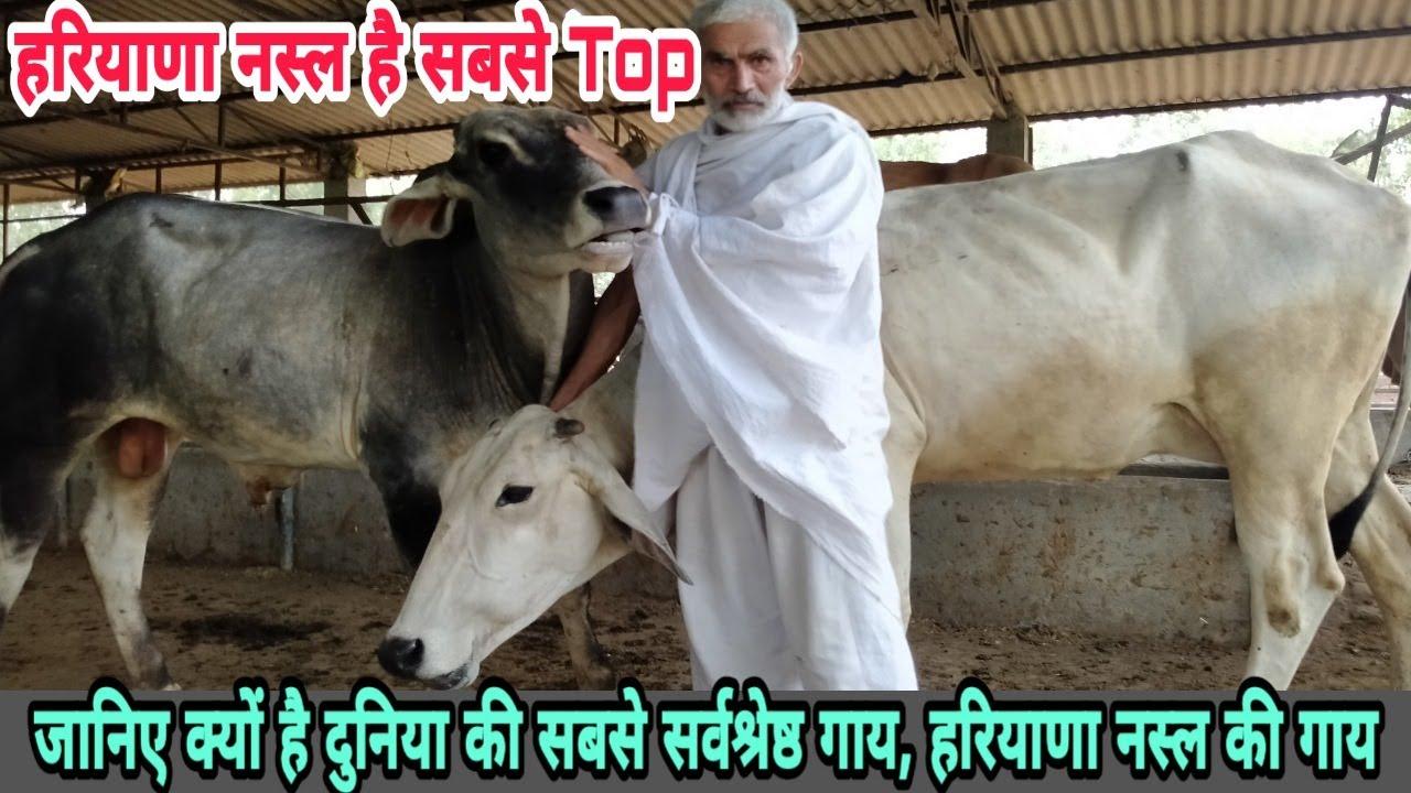 हरियाणा नस्ल की गाय है दुनिया की सबसे TOP गाय 👍 Haryana desi cow breed are best in all situations